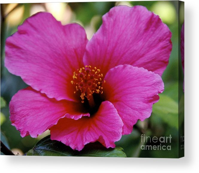 Hibiscus Acrylic Print featuring the photograph Pink Hibiscus by Wylder Flett