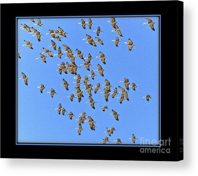 Bird Acrylic Print featuring the photograph Sandhill Cranes In Mass by Larry White