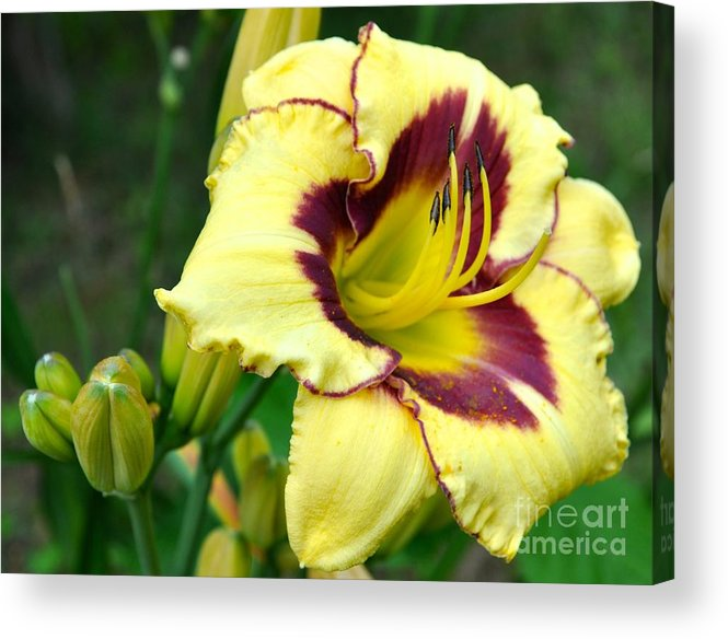 Lily Acrylic Print featuring the photograph Yawning Lily by Christina McKinney