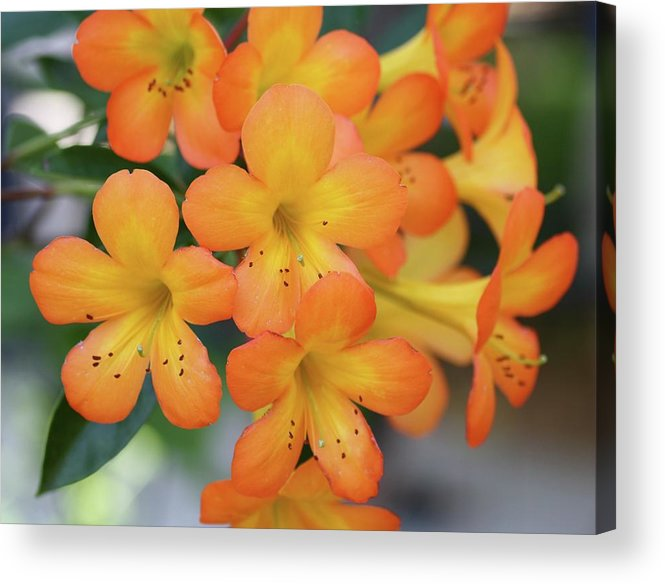 Rhododendron Acrylic Print featuring the photograph For The Love Of Orange by Andrea OConnell