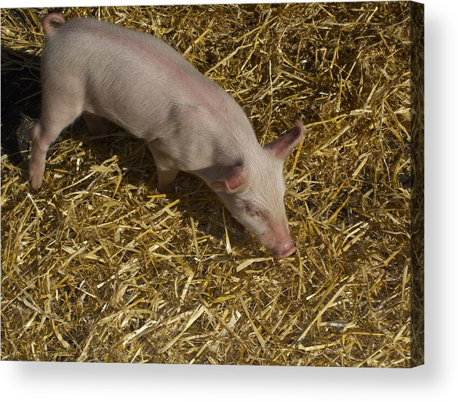 Pig. Piglet. Hoof. Straw. Beacon.snout. Ears. Pink. Tail. Nature. Outdoors. Farm. Animal. Wildlife. Ham. Cooking. Food. Feeding. Roast Pig. Acrylic Print featuring the photograph Pig. Yummy Roasted by Michael Clarke JP