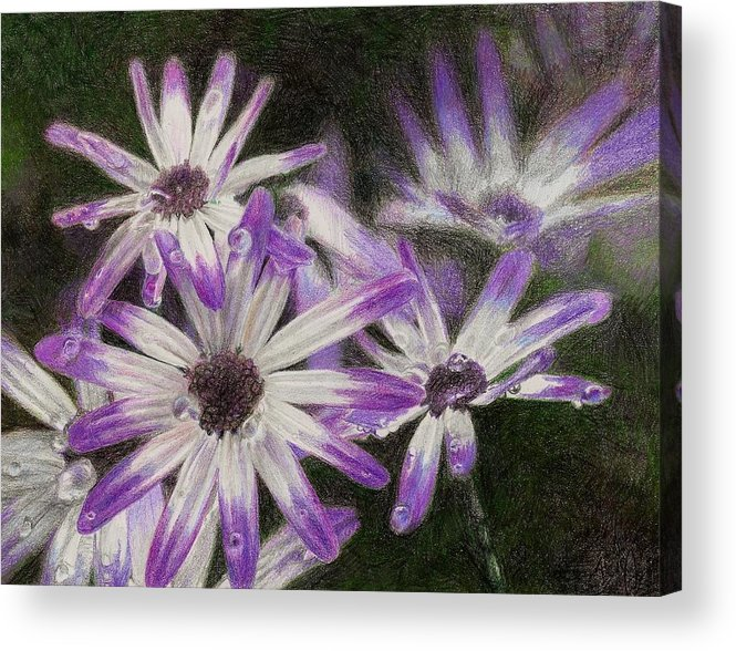 Flowers Acrylic Print featuring the drawing Senetti Pericallis by Steve Asbell