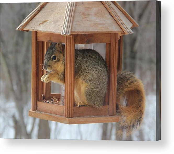 Squirrel Acrylic Print featuring the photograph Squirrel Sneaking Food by Donna Bosela