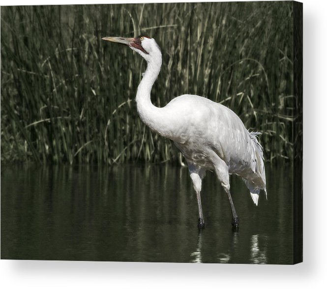 Whooping Acrylic Print featuring the photograph Whooping Crane by Al Mueller