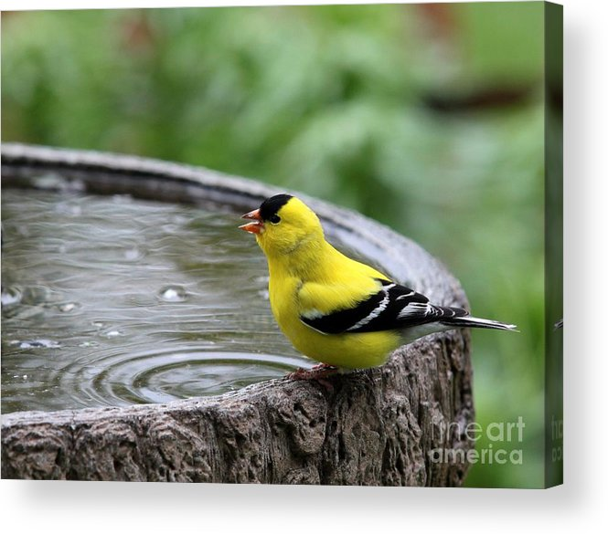 Nature Acrylic Print featuring the photograph American Goldfinch by Jack R Brock