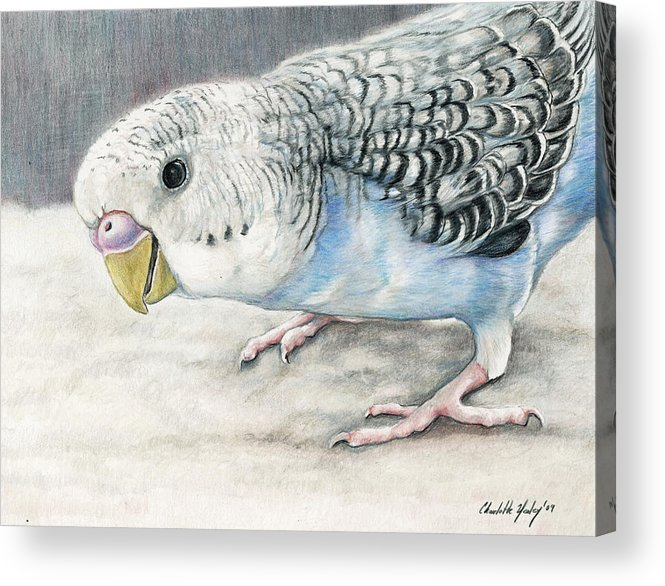 Bird Acrylic Print featuring the painting Blue Budgie by Charlotte Yealey