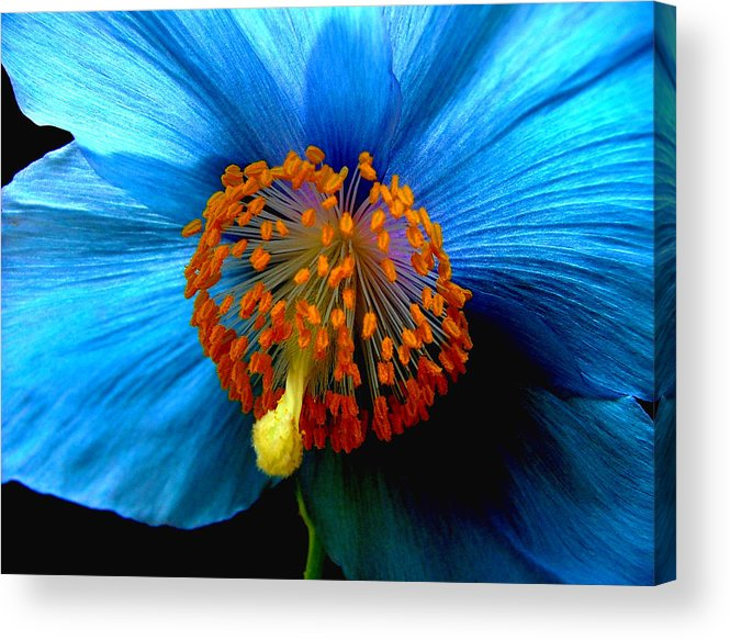 Meconopsis Acrylic Print featuring the photograph Blue Poppy II - Closeup by Robert Nankervis