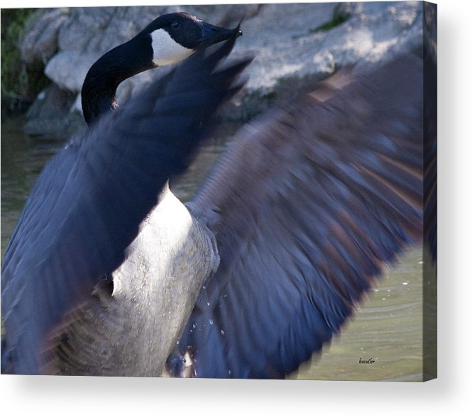 Goose Acrylic Print featuring the photograph Director by Betsy Knapp