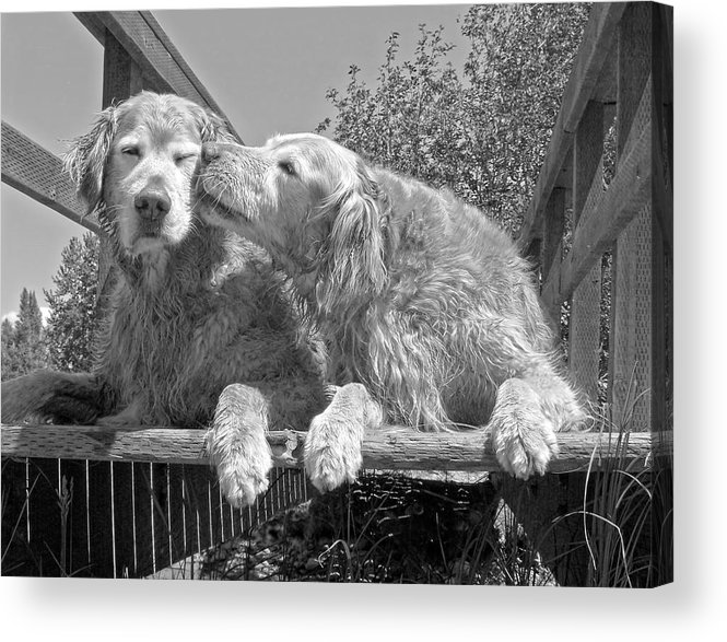 Golden Retriever Acrylic Print featuring the photograph Golden Retrievers The Kiss Black And White by Jennie Marie Schell