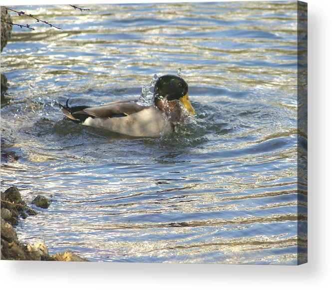 Ducks Acrylic Print featuring the photograph Just Ducking Around by Debbie May