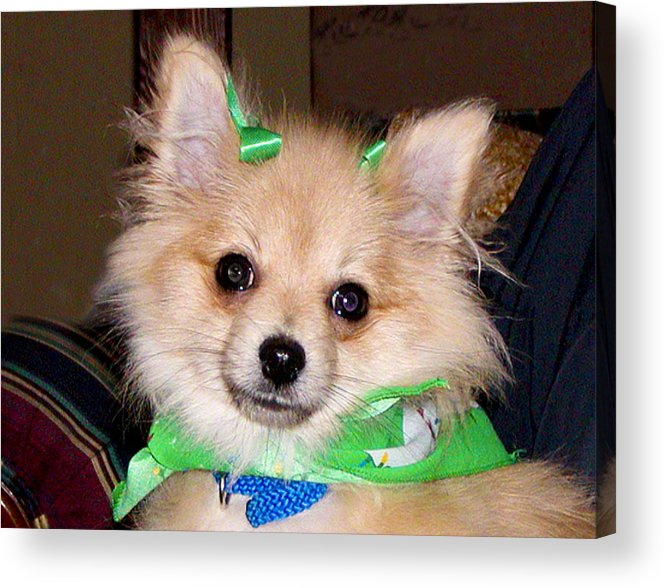 Puppy; Pomeranian; White; Beige; Dog Cute Acrylic Print featuring the photograph Little Dixie by Jeneane Mixon