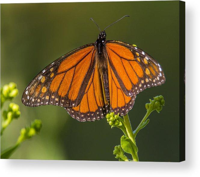 Monarch Acrylic Print featuring the photograph Orange Monarch by Sue Matsunaga