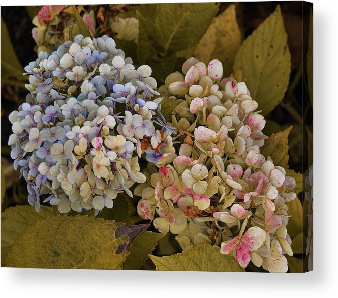 Pink Acrylic Print featuring the photograph Pink And Blue by JAMART Photography