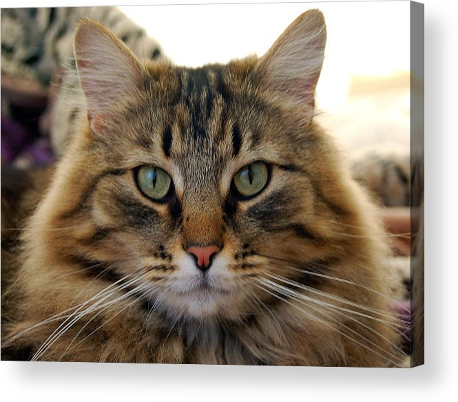 Cats Acrylic Print featuring the photograph Quentin by Heather S Huston
