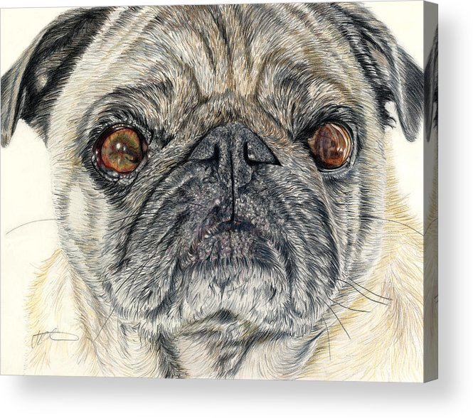 Dogs Acrylic Print featuring the drawing Stanley by Joanne Stevens