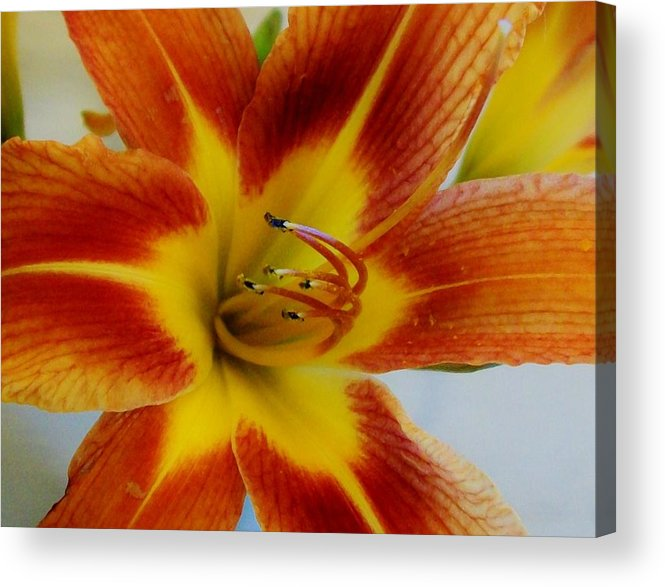 Photo Acrylic Print featuring the photograph Tigerlily Paw by Marsha Heiken