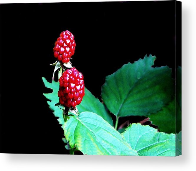 Black Berries Acrylic Print featuring the digital art Unripe Blackberries by Kenna Westerman
