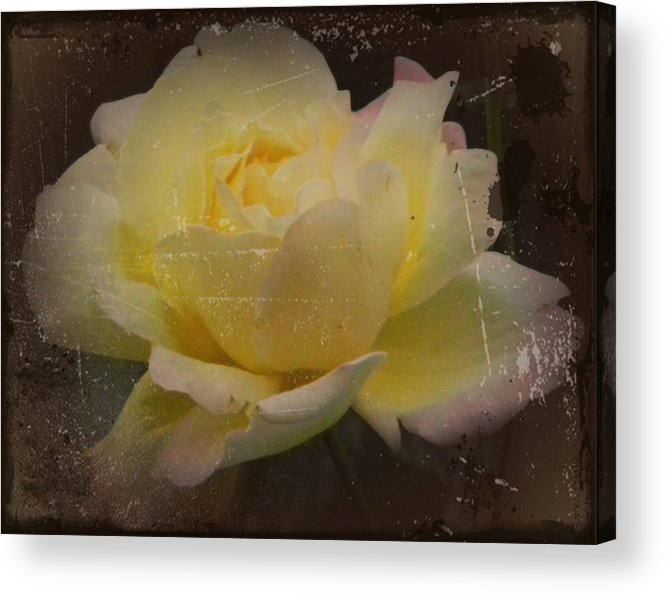 Vintage Acrylic Print featuring the photograph Butter Milk Rose by Carol Hynes