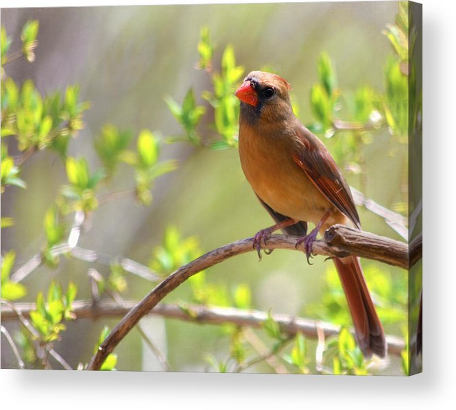 Cardinal Acrylic Print featuring the photograph Cardinal In Spring by Sandi OReilly
