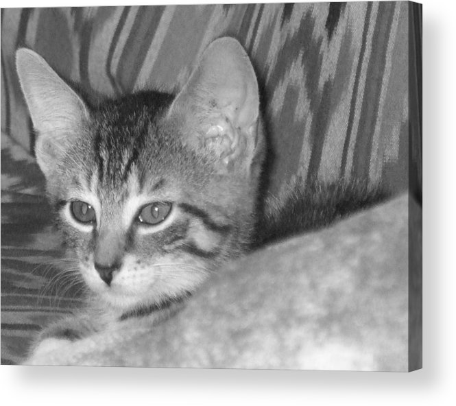 Kitten Acrylic Print featuring the photograph Comfy Kitten by Pharris Art