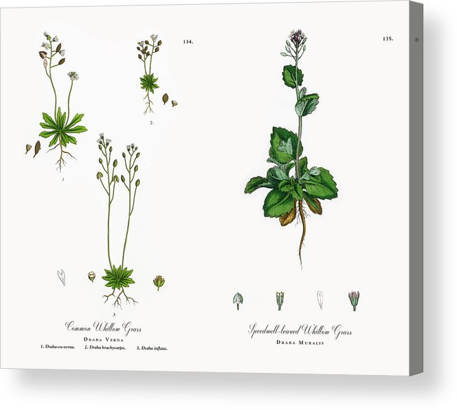 Common Whitlow Grass, Draba Verna, Victorian Botanical Illustration, 1863  Acrylic Print