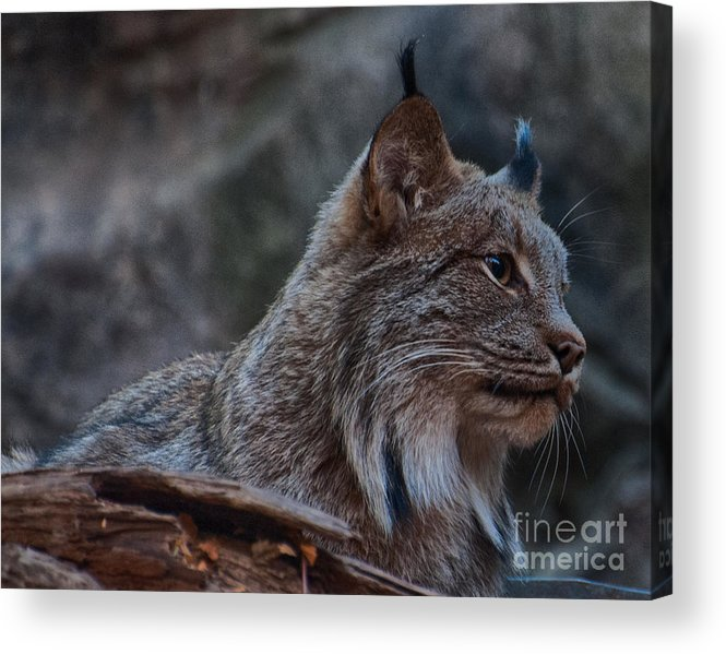 Lynx Acrylic Print featuring the photograph Lynx by Bianca Nadeau