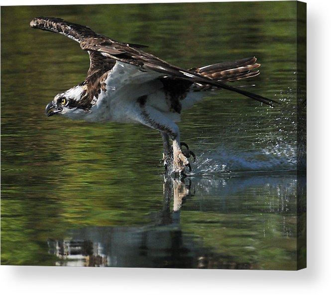 Osprey Acrylic Print featuring the photograph Osprey Hunter by Kenneth Haley
