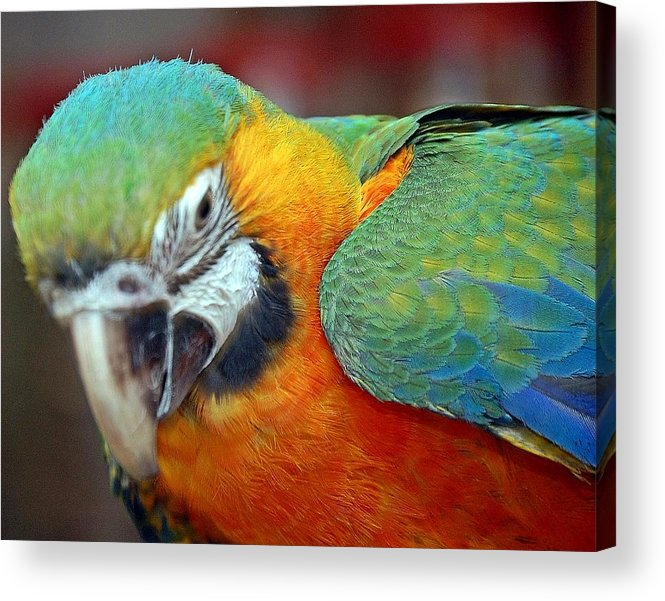 Animal Acrylic Print featuring the photograph Parrot by Scott Staley