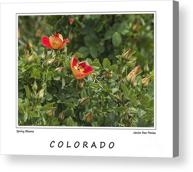 Garden Acrylic Print featuring the photograph Spring Blooms In Colorado by Janice Pariza