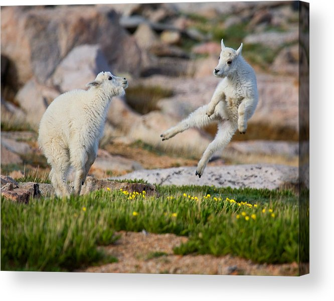 Baby Goat; Mountain Goat Baby; Dance; Dancing; Happy; Joy; Nature; Baby Goat; Mountain Goat Baby; Happy; Joy; Nature; Brothers Acrylic Print featuring the photograph The Dance Of Joy by Jim Garrison