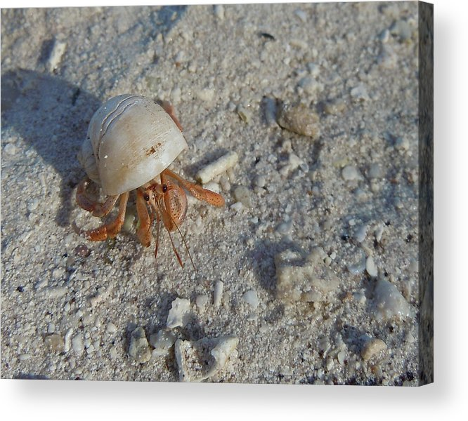 Crab Acrylic Print featuring the photograph Crabby Times by Sabine Batsche