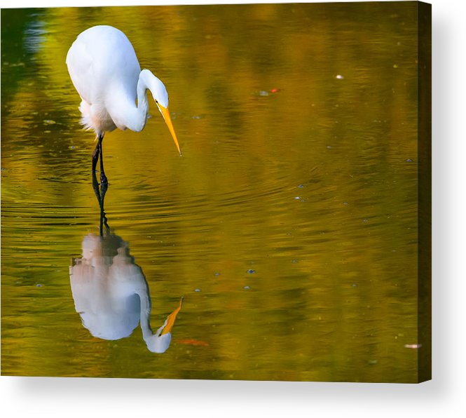 Acrylic Print featuring the photograph Egret by Brian Stevens