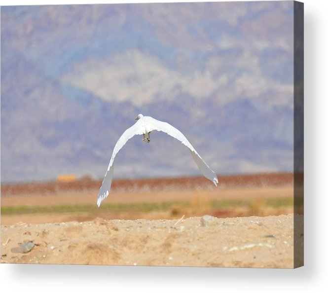 Egret Acrylic Print featuring the photograph Big Wing Spread by Linda Larson