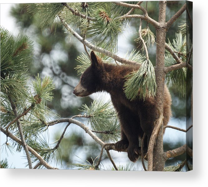 Bears Acrylic Print featuring the photograph Cub In Tree by Ernie Echols