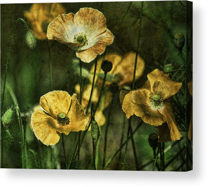 Golden Poppies Acrylic Print featuring the photograph Golden Poppies by Bonnie Bruno