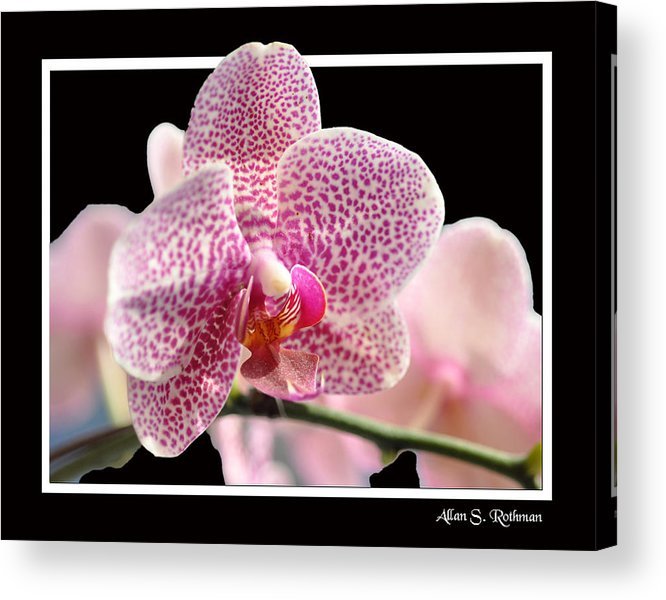 Orchid Acrylic Print featuring the photograph Orchid 10 by Allan Rothman