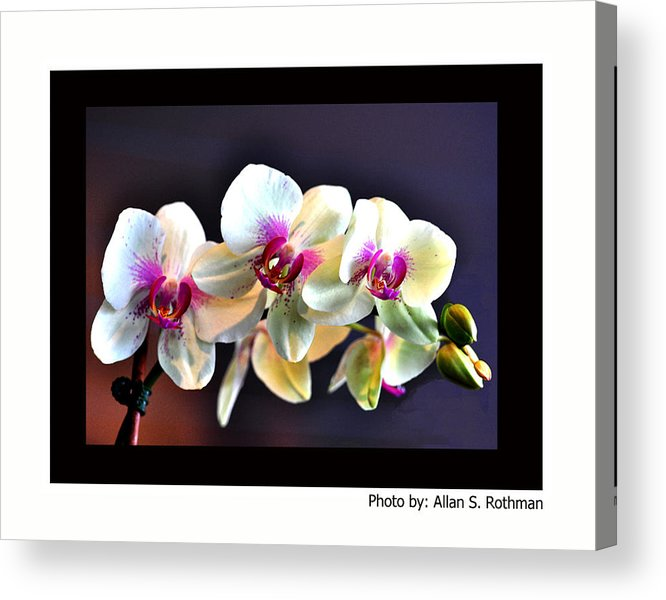 Orchid Acrylic Print featuring the photograph Orchid 6 by Allan Rothman