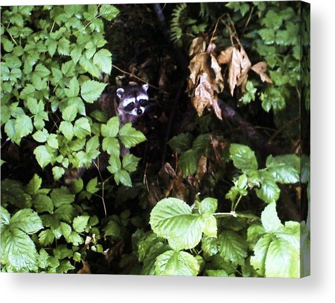 Raccoon Acrylic Print featuring the photograph Raccoon Amongst The Green by Kevin D Davis