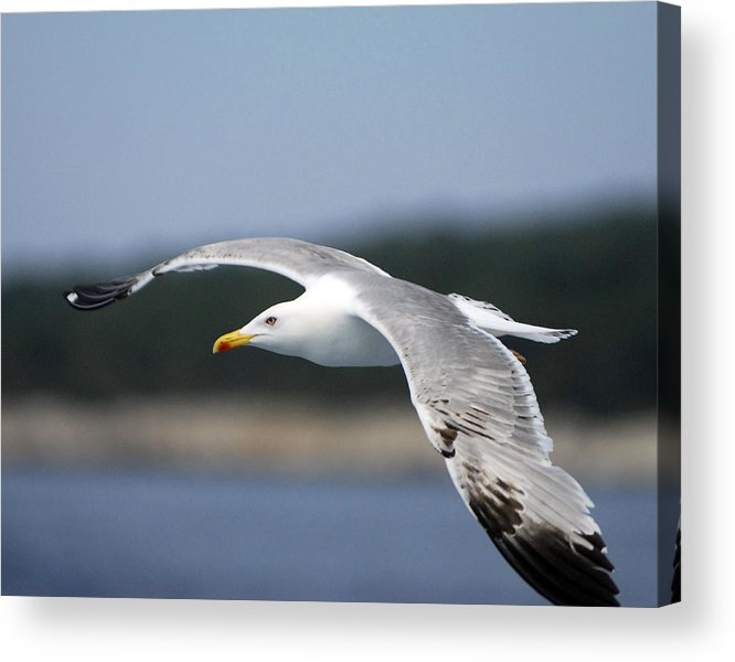 Gull Acrylic Print featuring the photograph Smooth Sailing by Don Wolf