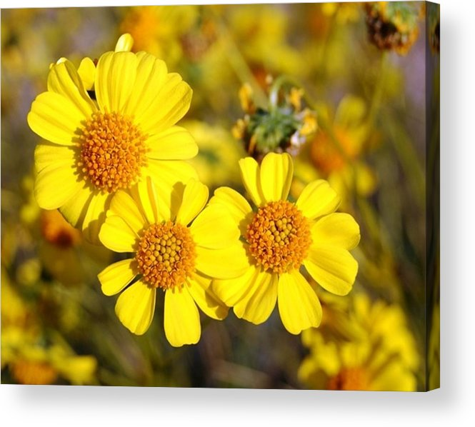 Three Acrylic Print featuring the photograph Triple Beauty by Shawna Cansdale