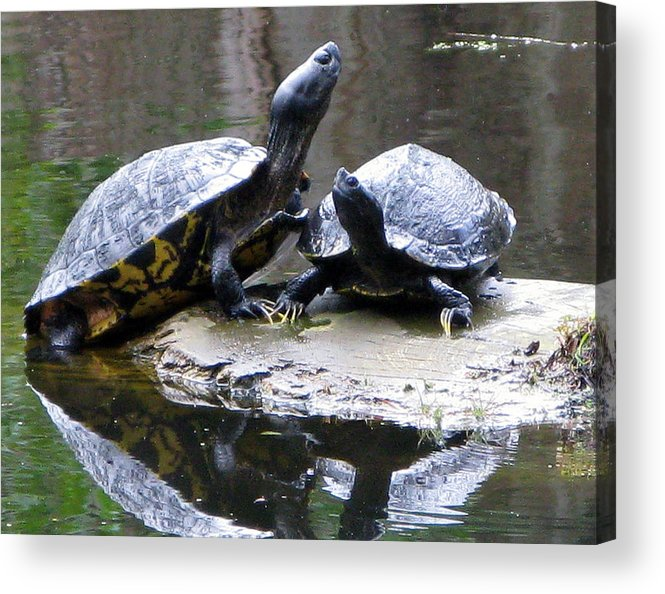 Box Turtles Acrylic Print featuring the photograph Turtles Sunning And Holding Hands by Richard Singleton