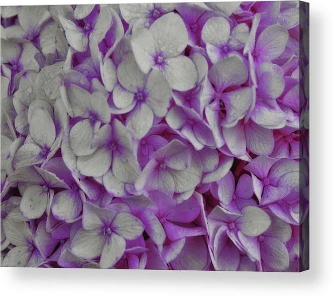 Hydrangea Acrylic Print featuring the photograph Cotton Candy by JAMART Photography