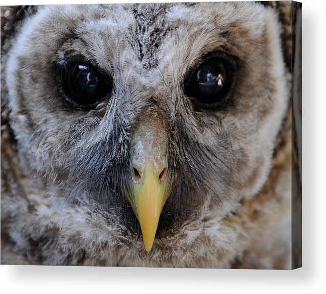 Acrylic Print featuring the photograph Baby Barred Owl 3 by Keith Lovejoy