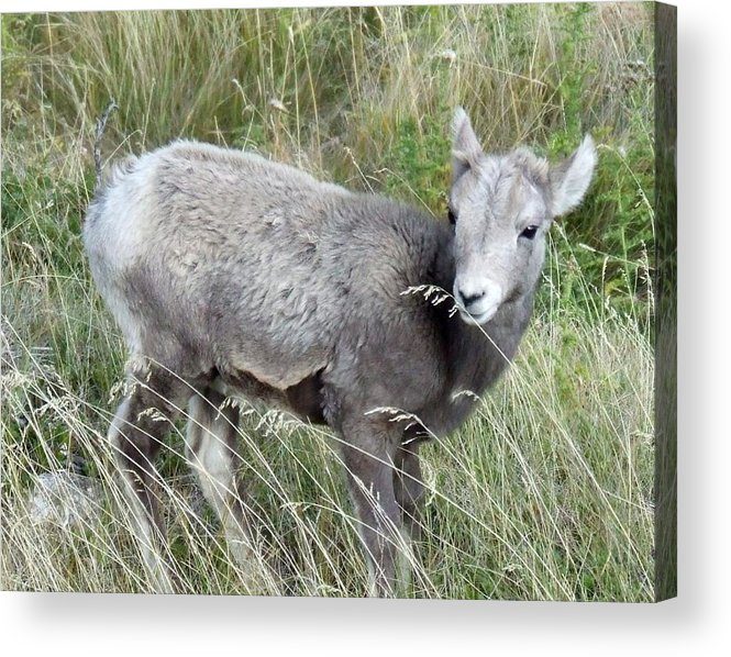 Baby Acrylic Print featuring the photograph Baby Bighorn by Tiffany Vest