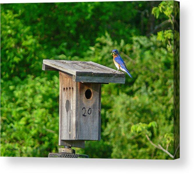 Bluebird Acrylic Print featuring the photograph Bluebird With Grub by Allen Sheffield