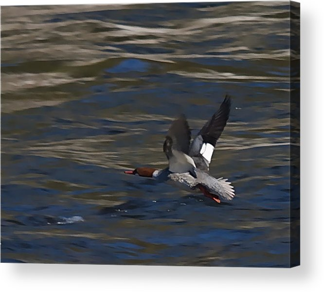 Ducks Acrylic Print featuring the photograph Common Merganser Duck by Peter Gray