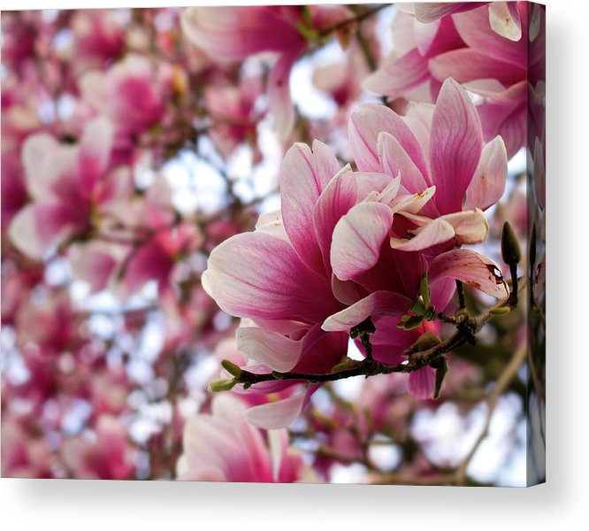Dogwood Acrylic Print featuring the photograph Dogwood Study by Tim Fitzwater