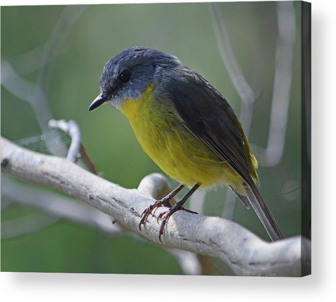Robin Acrylic Print featuring the photograph Eastern Yellow Robin by Peter Krause