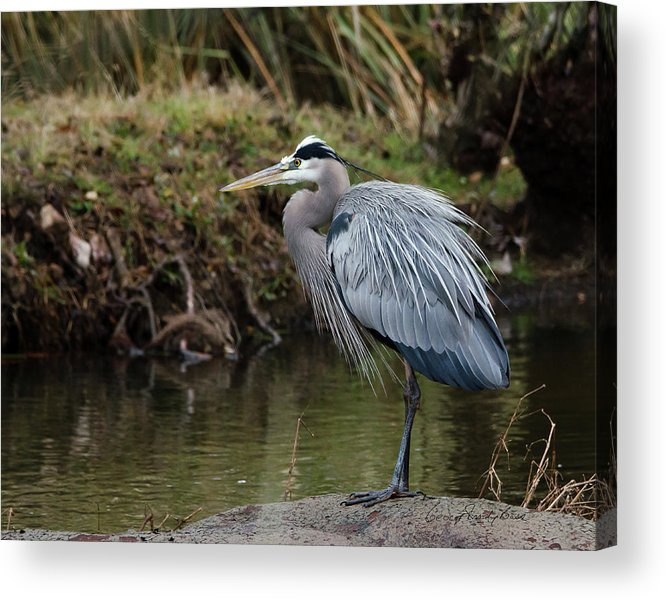 Hero Acrylic Print featuring the photograph Great Blue Heron On The Watch by George Randy Bass