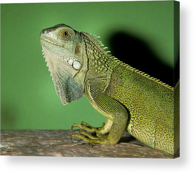 Giant Acrylic Print featuring the photograph Green Iguana by Buddy Mays
